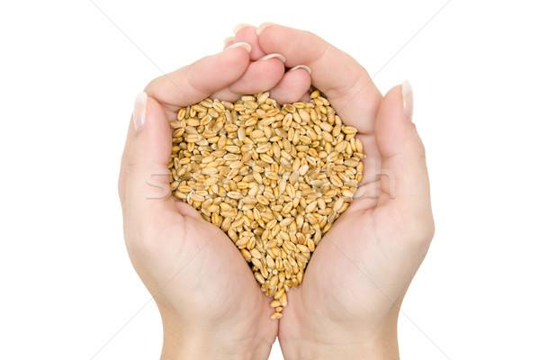 Fistful of Wheat Grains Stock photo © winterling