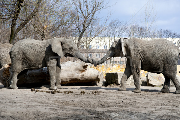 two elephants love in zoo Stock photo © wisiel