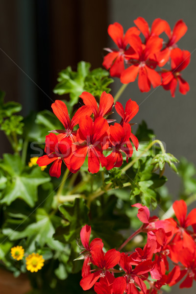 Red garden geranium flowers  Stock photo © wjarek