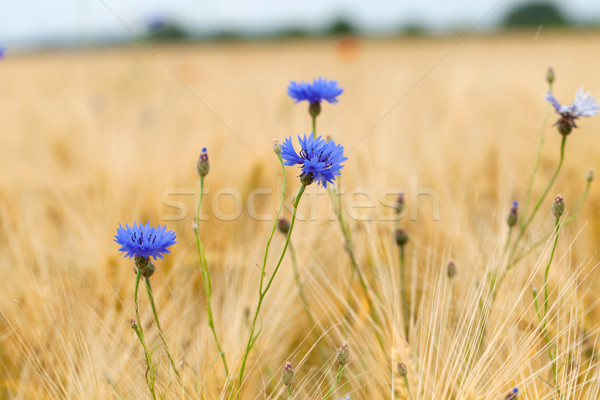 Photo stock: Bleu · printemps · feuille · fond · été