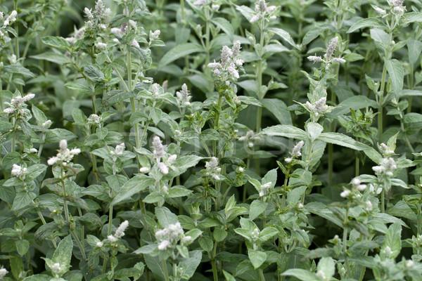 fresh mint in garden Stock photo © wjarek