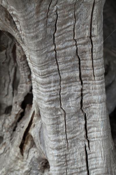 olive tree trunk  Stock photo © wjarek