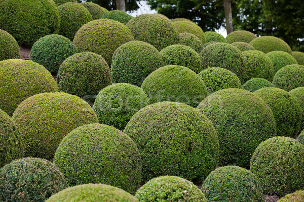 Boxwood  - Green garden balls in France, Stock photo © wjarek