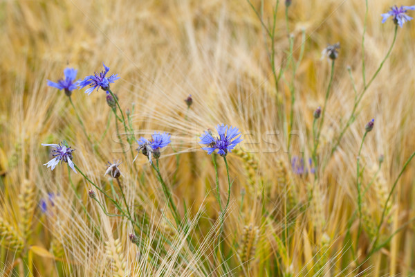 blue bluebottles on the corn-field Stock photo © wjarek