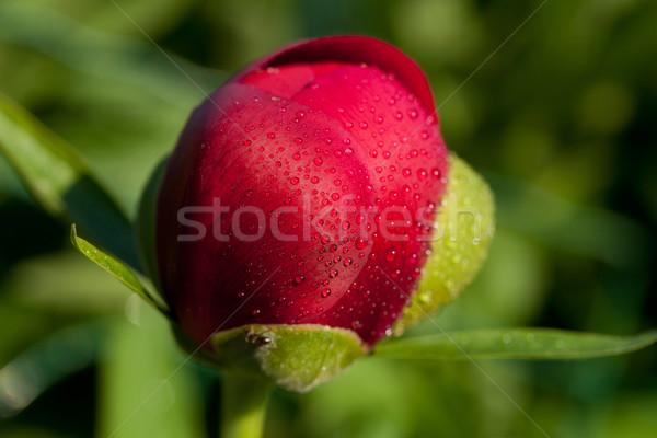 bud of peony flower after rain Stock photo © wjarek