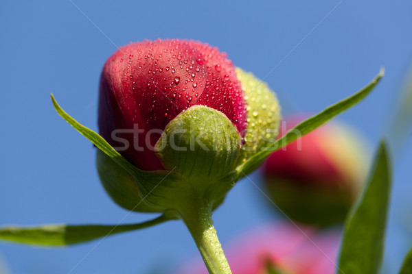 bud of peony flower after rain Stock photo © wjarek