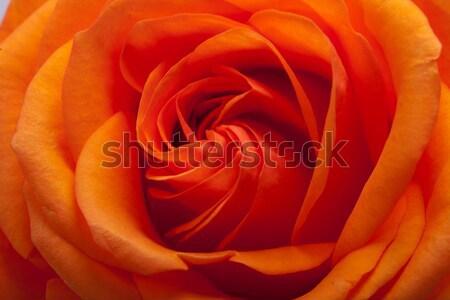 orange rose  Stock photo © wjarek