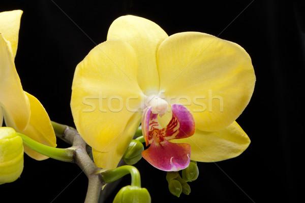 Yellow orchid isolated on black Stock photo © wjarek