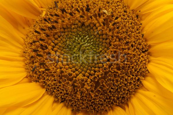 sunflower  Stock photo © wjarek