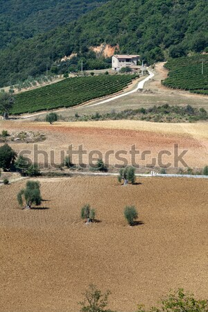 Tuscan landscape with vineyards, olive trees and cypresses Stock photo © wjarek