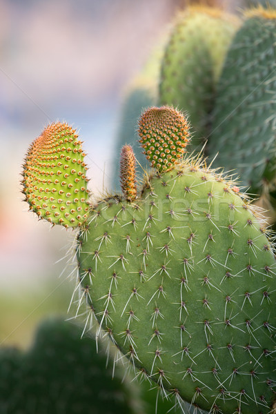Green Prickly Pear Cactus Leaf in the late afternoon Stock photo © wjarek