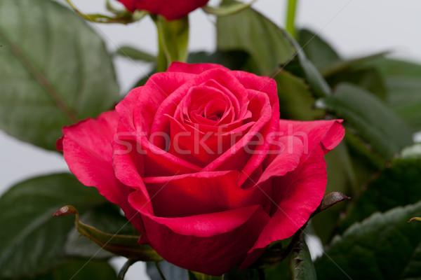 Rood rose bloemen voorjaar bruiloft vrouwen Stockfoto © wjarek