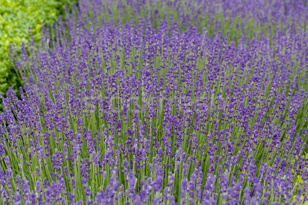 Gardens with the flourishing lavender at castles in the valley of Loire Stock photo © wjarek