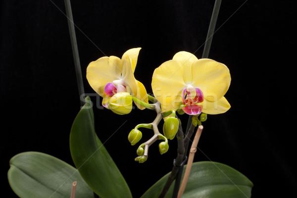 Geel orchidee geïsoleerd zwarte bruiloft natuur Stockfoto © wjarek
