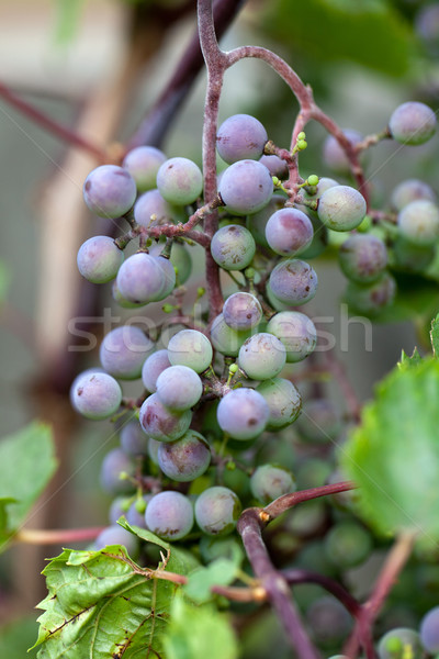 Stock photo: Long bunch of ripe red wine grapes