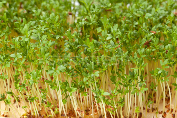Cress seedlings isolated on white background Stock photo © wjarek