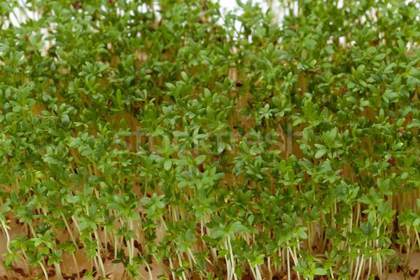 Zaailingen geïsoleerd witte voedsel gezondheid salade Stockfoto © wjarek