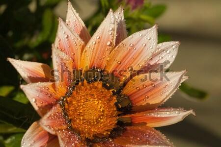 Mooie bloem regen water voorjaar schoonheid Stockfoto © wjarek