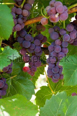 pink grapes in the vineyard  Stock photo © wjarek