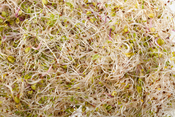 Fresh alfalfa sprouts isolated on white background  Stock photo © wjarek
