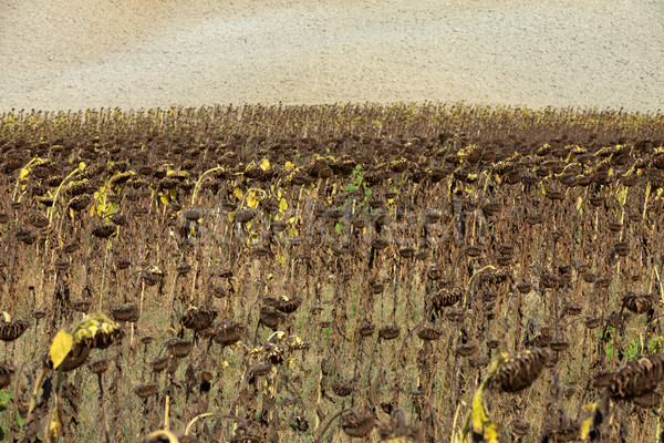 Stock photo: Ripened sunflowers ready for harvesting for their seeds
