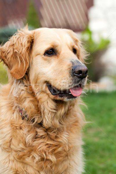 Portre güzel golden retriever sevmek hayvan dostluk Stok fotoğraf © wjarek