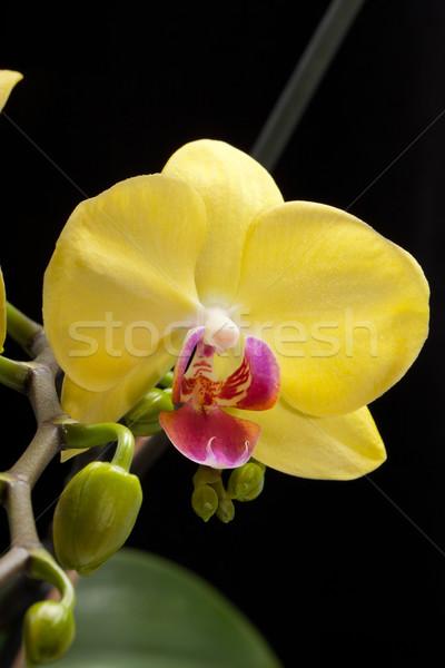 Sarı orkide yalıtılmış siyah düğün doğa Stok fotoğraf © wjarek