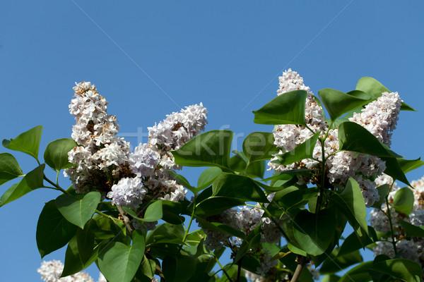 Pachnący liliowy Bush wiosną ogród charakter Zdjęcia stock © wjarek