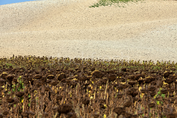 Ripened sunflowers ready for harvesting for their seeds  Stock photo © wjarek