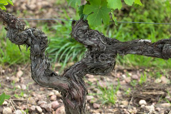 Oude wijnstokken bloei seizoen Toscane Italië Stockfoto © wjarek