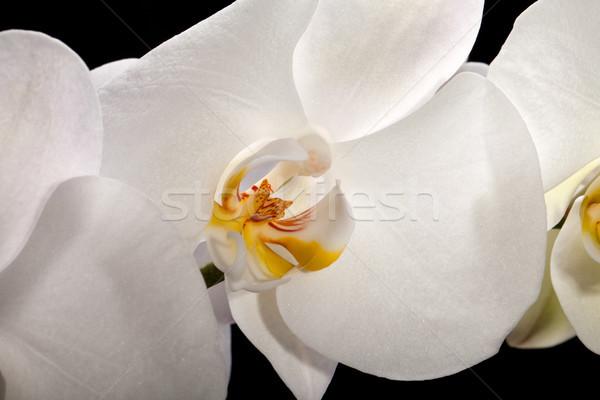 Beyaz orkide yalıtılmış siyah beyaz siyah düğün Stok fotoğraf © wjarek