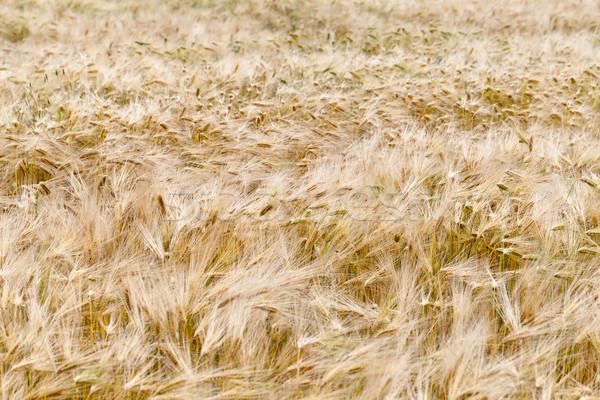 Alan olgun tahıl yaz ekmek buğday Stok fotoğraf © wjarek