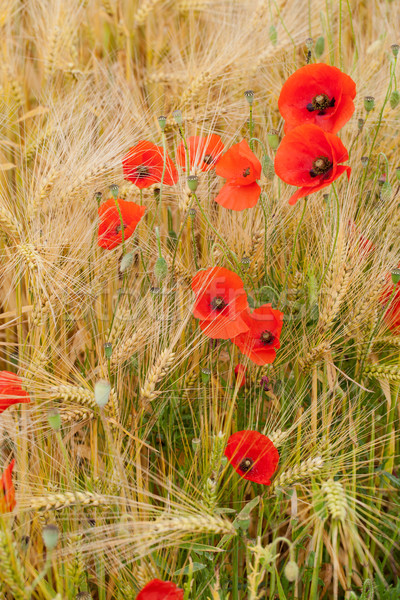 Rouge coquelicots nature maïs agriculture Photo stock © wjarek