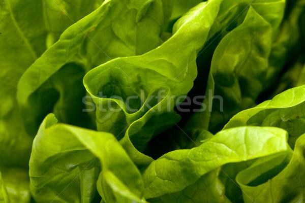 Fresh green Lettuce salad isolated on white background  Stock photo © wjarek