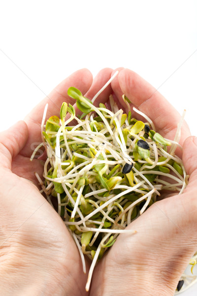 Fresh alfalfa sprouts isolated on white background Stock photo © wjarek