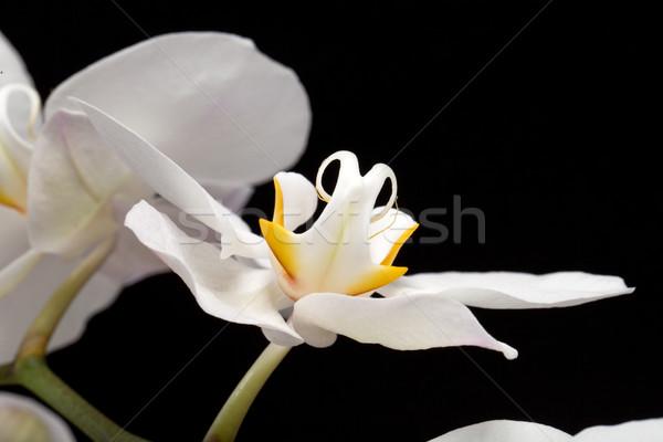 White orchid isolated on black Stock photo © wjarek