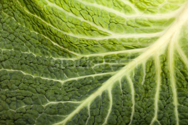 fresh savoy cabbage leaf as a texture  Stock photo © wjarek