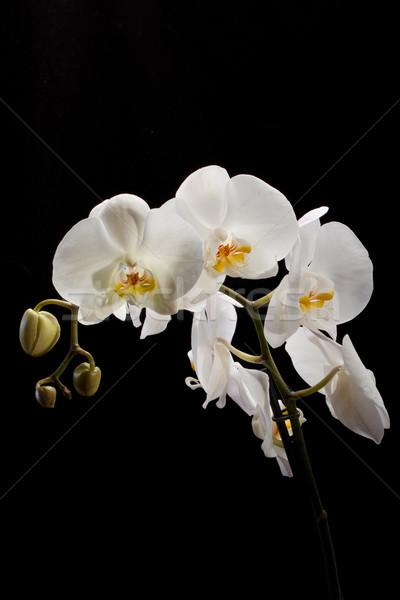 Witte orchidee geïsoleerd zwart wit zwarte bruiloft Stockfoto © wjarek