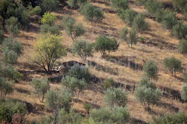 Toscano paisagem oliva árvores estrada natureza Foto stock © wjarek