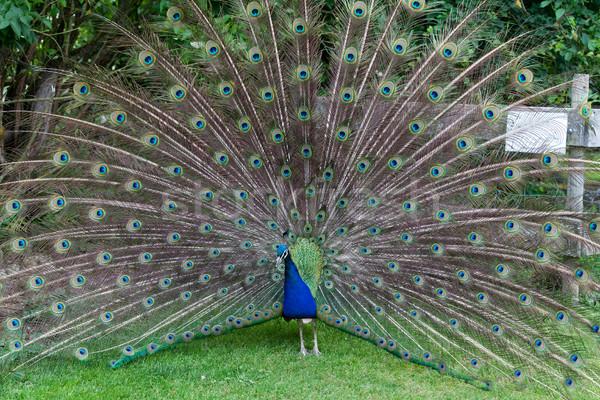 Close up of peacock showing its beautiful feathers  Stock photo © wjarek