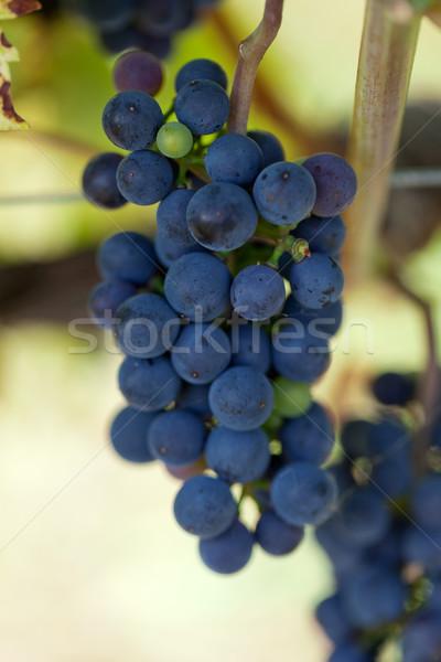 Wijngaard vruchten bladeren roze wijnstok Stockfoto © wjarek