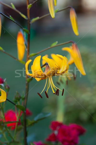 yellow lily flower in garden Stock photo © wjarek