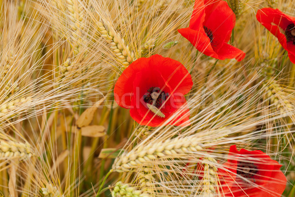 red poppies on the corn-field Stock photo © wjarek