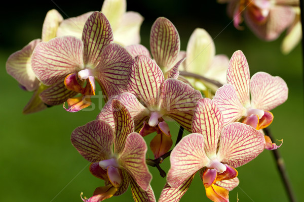 Freaky orchid pink and yellow  Stock photo © wjarek