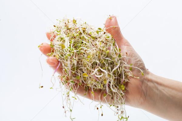 Taze alfalfa yalıtılmış beyaz doku gıda Stok fotoğraf © wjarek