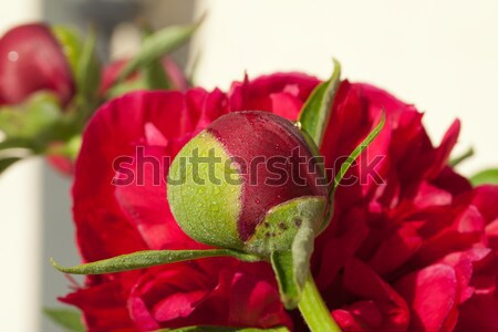 bud of peony flower Stock photo © wjarek