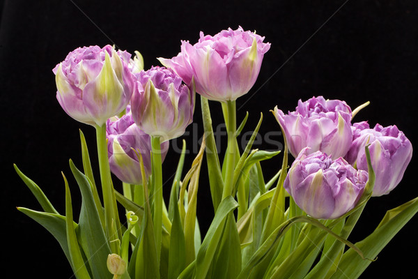 beautiful   purple tulips crispa isolated over black Stock photo © wjarek