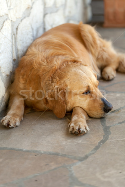 Retrato belo golden retriever amor animal amizade Foto stock © wjarek