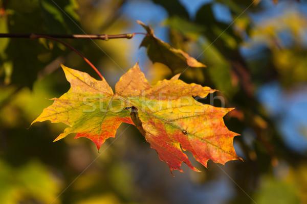 Outono folha queda textura floresta natureza Foto stock © wjarek