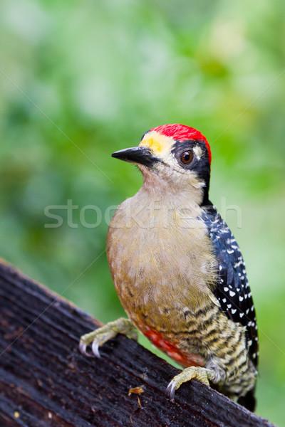 Black - cheeked Woodpecker Stock photo © wollertz